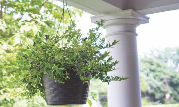 Bushel and Berry® Introduces Three New Blueberry Plants for 2021