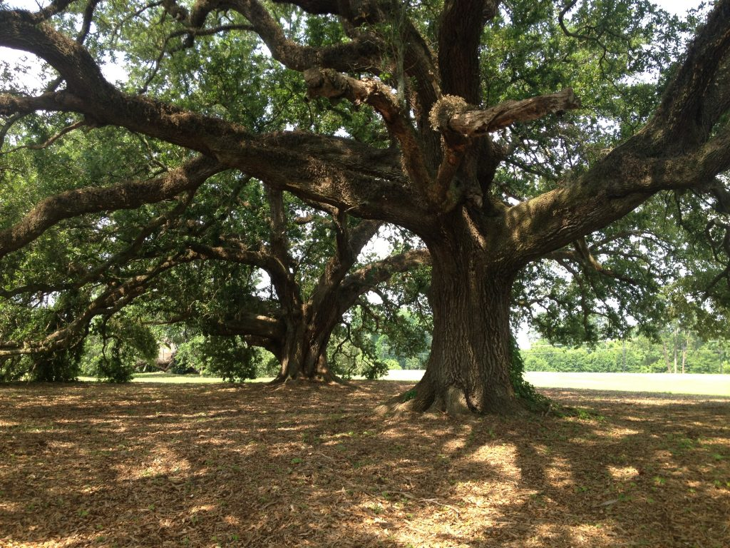 ancient oak trees at moncus park