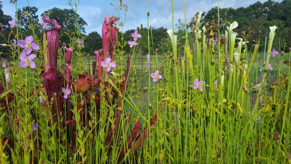 Carnivorous Plants at South Carolina Botanical Garden