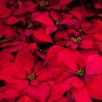20 Facts About Christmas Plants