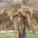 How to Care for Freeze-Damaged Palms