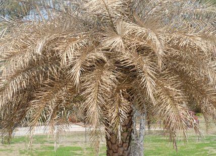 Freeze damaged palm