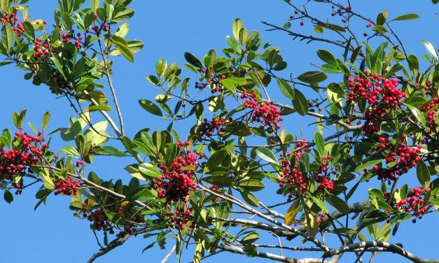 Camphor Tree alterNATIVE
